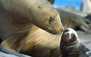 moustache, Sea Lion, animals, nature, baby animals