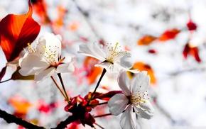 spring, cherry blossom, flowers