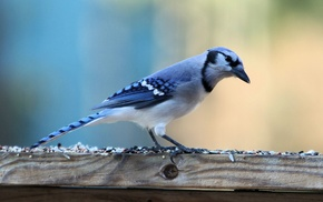 nature, wildlife, birds, blue, animals