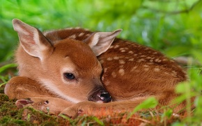 animals, deer, baby animals, fawns