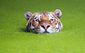 animals, green, water, nature, tiger, depth of field