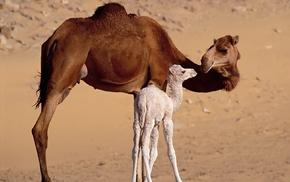 baby animals, sand, animals, camels