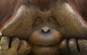 eyes, animals, orangutans, muzzles, nature, hand