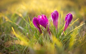 grass, crocuses, sunlight, plants, flowers, nature