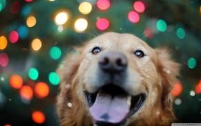 dog, animals, lights, bokeh, Labrador Retriever, colorful