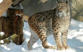 big cats, lynx, cat