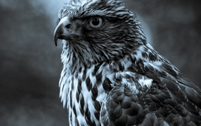 animals, birds, hawks, nature
