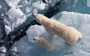 polar bears, ice, bears, animals, baby animals