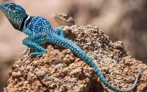 blue, macro, depth of field, lizards, tail, nature