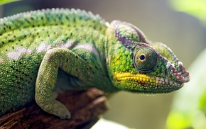 green, branch, depth of field, chameleons, skin, macro