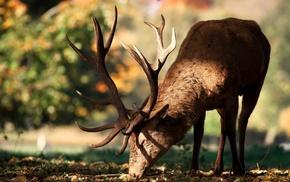 sunlight, deer, animals, antlers