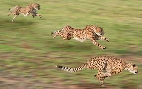 motion blur, cheetahs, animals, running