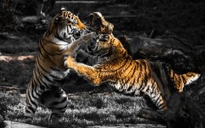 fighting, selective coloring, animals, tiger