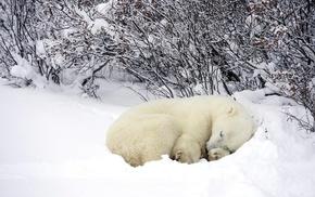 sleeping, snow, polar bears, animals
