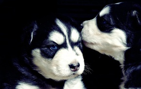 dog, animals, Siberian Husky