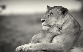 animals, baby animals, lion
