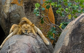 rock, animals, lion, leaves, sleeping, trees