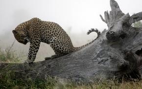 nature, animals, leopard