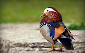 duck, birds