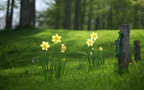 nature, flowers, daffodils, grass, fence