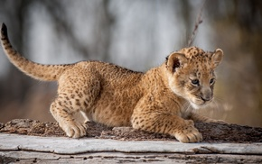 animals, baby animals, lion, cubs