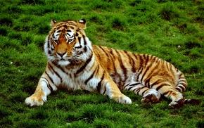 animals, tiger