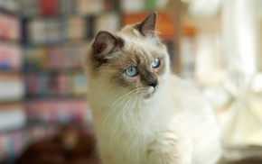 blue eyes, cat, blurred, Siamese cats, animals