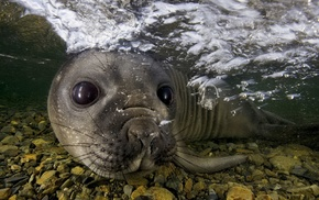 muzzles, eyes, animals, water, nature, seals