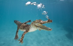 swimming, underwater, water, nature, alligators, sea