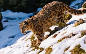snow leopards, animals