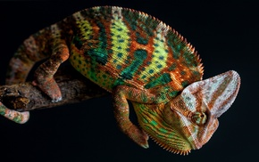 skin, tail, simple background, chameleons, nature, colorful