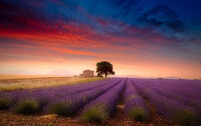 trees, Provence, lavender, nature, flowers, field