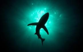 shark, underwater, animals