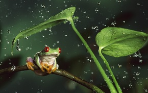 Red, Eyed Tree Frogs, frog, water drops, nature, animals