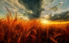 wheat, field, clouds, yellow, nature, sunset