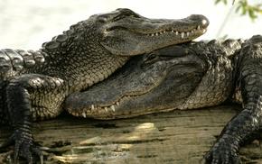 nature, crocodiles, animals