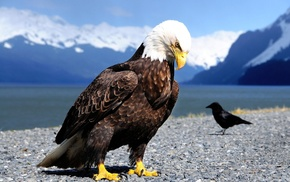 animals, closeup, bald eagle, nature, crow, birds