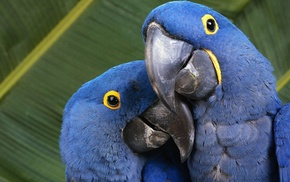 nature, parrot, birds, animals, macaws