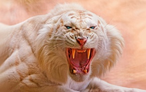 animals, open mouth, tiger, blue eyes, nature, white tigers