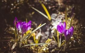 Latvia, nature, crocuses, purple flowers, vignette, flowers