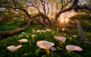 flowers, sunset, nature, trees, grass, calla lilies