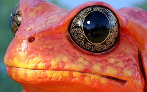 macro, animals, frog, orange, nature, eyes