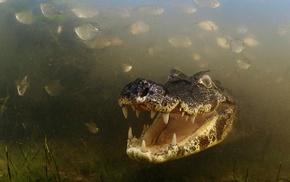crocodiles, animals, fish, grass, river, nature
