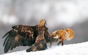 eagle, animals, birds, golden eagles, fighting, fox