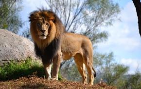 lion, animals, nature