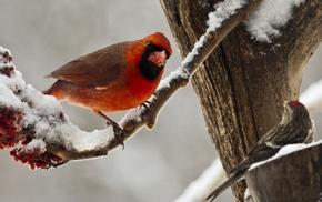 nature, birds, animals, Cardinals