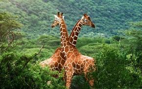 nature, animals, giraffes