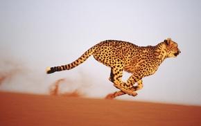 sand, cheetahs