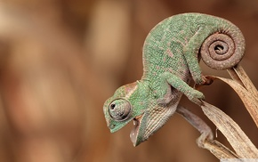 reptile, closeup, animals, chameleons, nature
