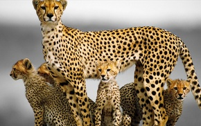 cheetahs, baby animals, animals